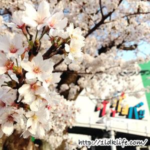 よみうりランド桜2018