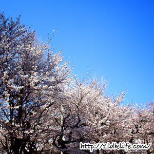 花見2018桜並木