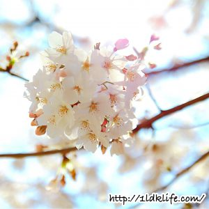 花見2018桜