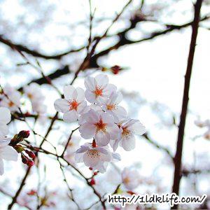 花見散歩_桜02