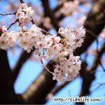 花見散歩_桜01