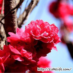 花見散歩_赤い桜?