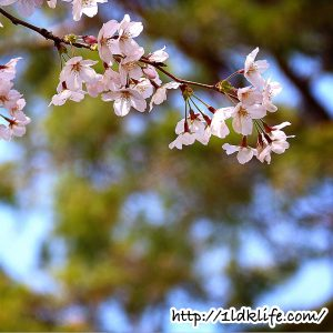 花見散歩_桜03