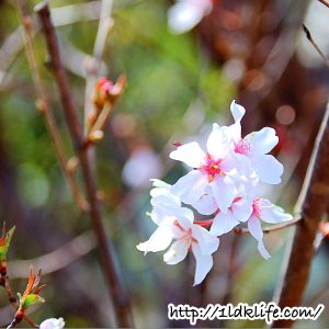 花見散歩_桜04